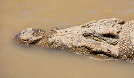 Nile Crocodile. A Nile Crocodile resting in the water next to a riverbank in the Namibian savanna Stock Photo