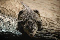 Nile Crocodile Royalty Free Stock Photo