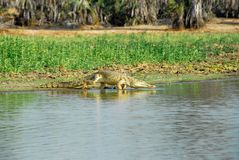 Nile crocodile in the Rufiji River, Selous reserve Stock Photo