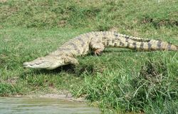 Nile crocodile running to the water Stock Photography