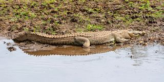 Nile Crocodile photos libres de droits