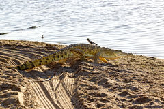 Nile Crocodile Selous lekreserv, Tanzania royaltyfria bilder