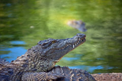 Nile crocodile on the shore. South Africa Stock Photography