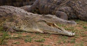 Nile Crocodile Smile image stock