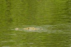 Nile crocodile swimming Royalty Free Stock Photo