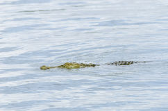 Nile crocodile swimming Stock Photo