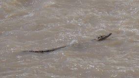 Nile Crocodile Swimming in Vijver stock foto