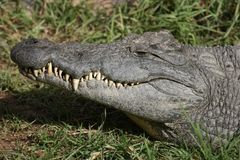 Nile Crocodile Teeth Royalty Free Stock Images