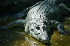 Nile Crocodile Stock Images