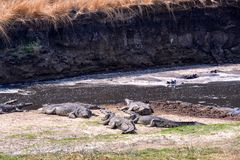 Nile crocodile waiting for prey Royalty Free Stock Photography