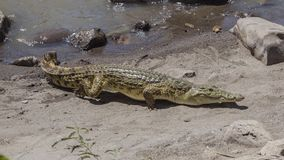 Nile Crocodile Walking op Zand royalty-vrije stock foto's