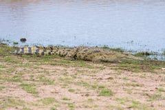 Nile Crocodile am Wasserrand Lizenzfreie Stockfotografie