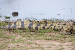 Nile Crocodile am Wasserrand Lizenzfreie Stockbilder
