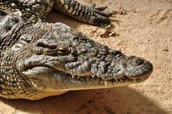 Nile crocodile wild animal. Nile crocodile closeup. Large reptile wild animal background Stock Photos