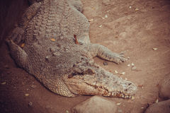 Nile crocodile. Wildlife in Bali birds and reptiles park royalty free stock images