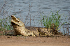 Nile Crocodile Royalty Free Stock Image