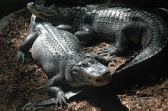 Nile Crocodiles. Captive crocodiles in a Toronto ZOO - Canada Royalty Free Stock Images