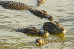 Nile Crocodiles. Swimming in the water in a group Royalty Free Stock Images