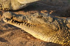 Nile crocodiles Royalty Free Stock Images