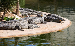 Nile crocodiles Royalty Free Stock Photos