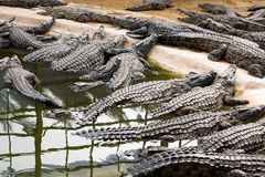 Nile crocodiles Stock Image