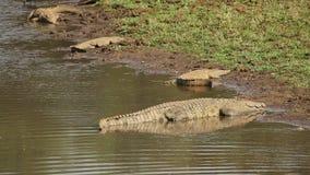 Nile crocodiles basking stock footage