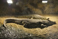 Nile crocodiles, or Crocodylus niloticus. Two Nile crocodiles Crocodylus niloticus lie together. In Zagreb Zoo, Croatia Royalty Free Stock Photos