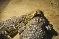 Nile crocodiles, or Crocodylus niloticus. Two Nile crocodiles Crocodylus niloticus lie together. In Zagreb Zoo, Croatia Royalty Free Stock Photo