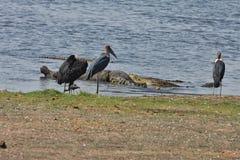 Nile crocodiles feast on carrion African Buffalo, in Chobe National Park, Botswana Stock Photo