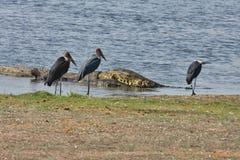 Nile crocodiles feast on carrion African Buffalo,in Chobe National Park, Botswana Royalty Free Stock Photo