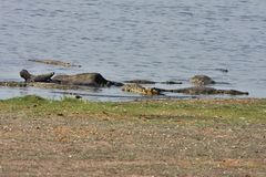 Nile crocodiles feast on carrion African Buffalo,in Chobe National Park, Botswana Stock Photo
