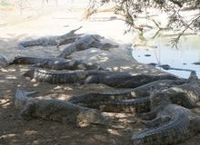 Nile crocodiles resting Stock Image