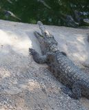 Nile crocodiles resting Royalty Free Stock Images