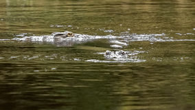 Nile Crocodiles. Crocodiles swimming and looking in Nile river stock photography