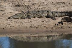 Nile Crocodryle fotografía de archivo