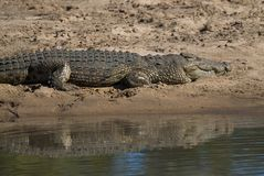 Nile Crocodryle fotos de archivo
