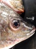 Nile fish Royalty Free Stock Image