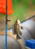 Nile fish hanging on hook Royalty Free Stock Photos