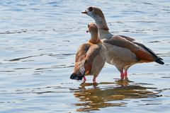 Nile goose couple color picture in the river rhine stock images