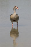 Nile goose stock photo