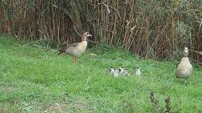 Nile goose family walking stock video