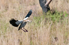 Nile Goose in Flight Stock Images