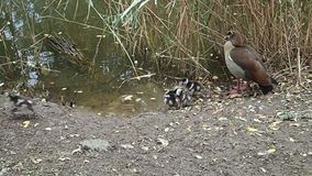 Nile goose and goslings near water stock video footage