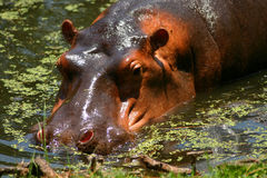 Nile hippo Royalty Free Stock Photography