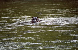Nile hippo, Balule Nature Reserve, South African Republic Stock Image