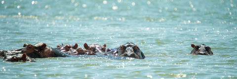 Nile Hippo Stock Image