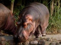 Nile Hippopotamus. In the zoo Stock Images