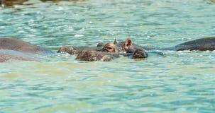 Nile Hippos Fotografia de Stock Royalty Free