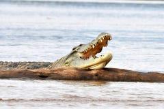 Nile krokodil Arkivbilder