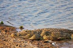 Nile krokodil Royaltyfri Fotografi